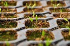 Încolţirea forţată a seminţelor are avantajul de a reduce semnificativ timpul dintre semănat şi răsărirea plantelor. Vise, Backyard Ideas, Agriculture, Plant, Lawn And Garden, Yard Crashers, Garden Ideas