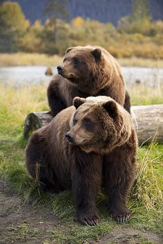 Two Brown Bears Sitting - by Doug Lindstrand