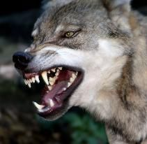 Image result for wolf mouth