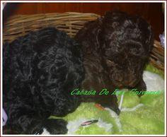 CANICHES MICRO TOY #cachorros #mascotas #canichestoy