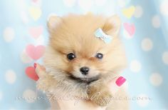 Pomeranian Puppies For Sale at TeaCups Puppies South Florida