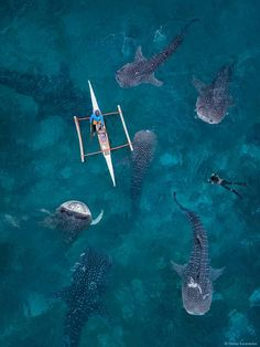 Swimming with wale sharks in Oslob, Cebu Islande 🦈 Swimming With Whale Sharks, Shark Photos, Underwater Pictures, Photos Voyages, Ocean Creatures, Philippines Travel, Philippines Cebu, Shark Week, Tier Fotos