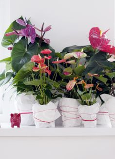 A collection of Anthuriums plants