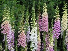 Photo about Floral background of colorful foxglove flowers. Image of ornamental, green, herbal - 14536381 Flowers That Attract Hummingbirds, How To Attract Birds, Hummingbird Garden, Hummingbird Painting, Hummingbird Symbolism, Cottage Garden Plants, Fruit Garden, House Plants, Gardens