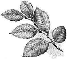 beech tree leaves - Google Search