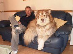 35 cães que simplesmente não entendem o quão grandes eles são