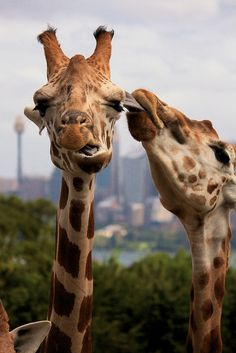 Ewww! Mrs G. Raffe -- NOT `impressed' with your smelly tongue... Besides I just did my mascara! Pfft! ❤