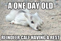 reindeer :)