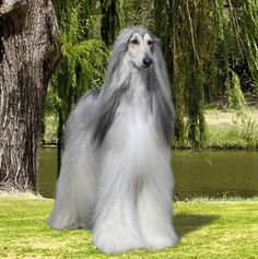 Afgan hound so pretty! Big Dogs, Cute Dogs, Dogs And Puppies, Doggies, Giant Dogs, Photo Animaliere, Afghan Hound, Kinds Of Dogs, Hound Dog