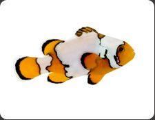 snowflake clownfish