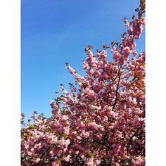 I love cherry blossoms  by evaajuliet