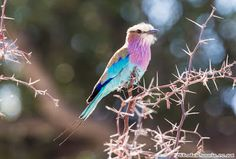Otto's Adventure: Lilac-brested Roller