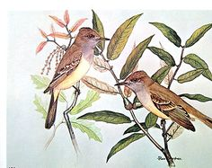Rex Brasher Print - Large Vintage 1962 Bird Print - Olivaceous Flycatcher and Silver Leaf Oak and Eastern Phoebe with Balsam Swallow