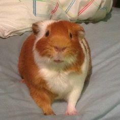 Guinea pig Angus