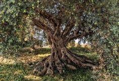 Komar-Olive-Tree-Fotobehang-National- Geographic-8-531