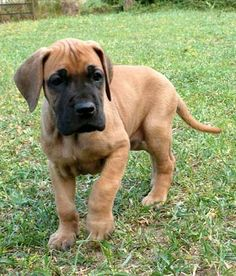 This looks just like one of the Great Dane pups that our dog had when I was young.