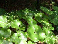Farfugium japonicum 'Aureomaculata' Leopard Plant