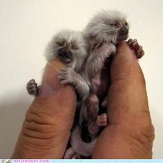 I'm researching monkeys for a drawing. These: Albino pygmy marmoset monkey twins photo Primates, Mammals, Marmoset Monkey, Pygmy Marmoset, Rare Animals, Cute Baby Animals, Animals And Pets, Monkeys Animals, Small Animals