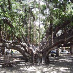 Hawaii Banyan tree