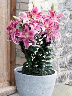 Oriental-Lily.jpg (616×821)