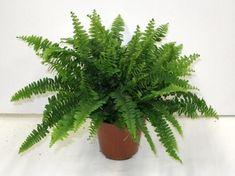 A szobapáfrány (Nephrolepis exaltata) gondozása - CityGreen. Boston Ferns, Cactus Plants, Indoor Plants, Plant Leaves, Sweet Home, Herbs, Beautiful, Gardening, Inside Plants