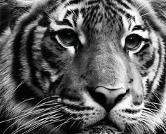 """Between You And Me"" by Roland Spiess, via Black Tigers, Photo Black, Spirit Animal, Black And White Photography, Tigger, Lions, You And I, Cute, Animals"