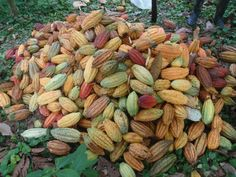 Cacao beans UBELONG volunteers helped to harvest in Ecuador's Coastal Forest! Cacao Chocolate, Chocolate Lovers, Albinism, Cacao Beans, Volunteer Abroad, Theobroma Cacao, Personal Space, Volunteers, Raising