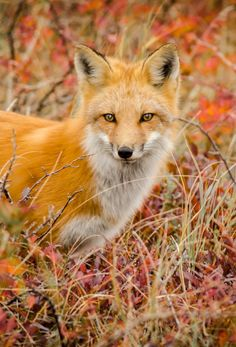 beautiful-wildlife: Fox by Michel Loiselle Most Beautiful Animals, Beautiful Creatures, Silver Foxes, Pet Fox, Autumn Nature, All Gods Creatures, Woodland Creatures, My Animal, Wildlife Photography