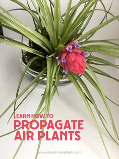 Did You Know - Flowering is the first step in air plant propagation. The air plant growth cycle is so exciting because that's when we see the emergence of baby air plants from the parent plant. Planting Succulents, Garden Plants, Planting Flowers, House Plants, Succulent Planters, Cactus Plants, Moss Garden, Patio Plants, Cactus Farm