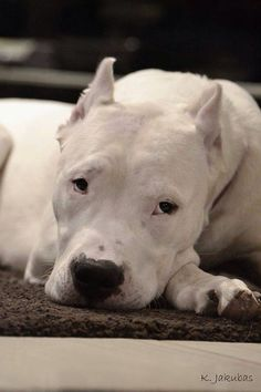 Dogo.  this beauty looks so much like my girl.  I miss that face SOOO much.