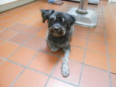 Max  Terrier & Poodle • Adult • Male • Medium  Santa Cruz Humane Society Nogales, AZ