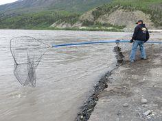 Calvin Moses of Fairbanks sweeps the Copper River for sockeye salmon on opening day below the bridge in Chitina.  —Steve Kakaruk, Fairbanks