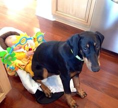 When they sit on you it means that they love you. [Doberman Pinscher]
