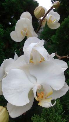 Orquidea e kaizuca: casamento perfeito!