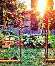 I want to grow tomatoes like this Grow Tomatoes, Backyard, Patio, Organic Gardening, Lush, Fields, Outdoor Structures, Flowers, Gardens