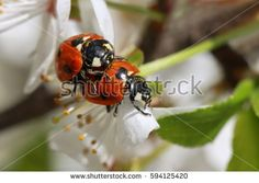 love of two ladybugs on a blossoming spring branch. Reproduction.