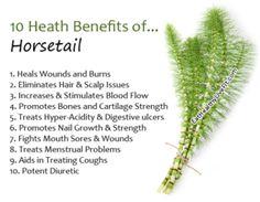 Horsetail a. Herbal Remedies For Arthritis, Herbal Remedies For Anxiety, Health Remedies, Herbal Tinctures, Herbalism, Herbal Tea, Healing Herbs, Medicinal Plants, Natural Herbs