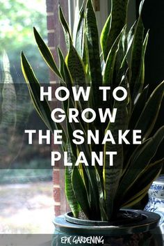 Snake Plant (Mother In Law's Tongue)