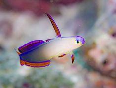 Not all marine aquarium fish are reef safe.Many saltwater fish will tear up corals, consume fish and invertebrates. Marine Aquarium Fish, Coral Reef Aquarium, Saltwater Aquarium Fish, Tropical Fish Aquarium, Tropical Fish Tanks, Freshwater Aquarium Fish, Saltwater Tank, Marine Fish, Marine Tank