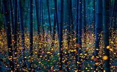 Fireflies illuminate a forest in Shikoku, Japan