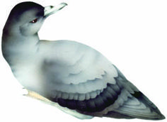 Seabird titi/sooty shearwater. In CLOAK OF PROTECTION is hunted by kiore, human hunter, and Norway rat