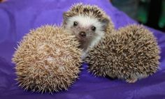 """3 Baby Hedgehogs Born to California Zoo  Three adorable African pygmy hedgehogs were born at the Happy Hollow Park & Zoo in late March. While the zoo has not revealed their names, we don't see any reason why they can't all just be called """"Sonic, Jr.""""  Via Happy Hollow Park & Zoo, by way of ZooBorns."""