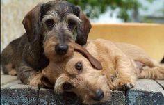 #dachshund #wirehaired