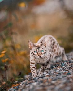 Bengal Cat Gallery - Cat's Nine Lives Beautiful Cat Breeds, Beautiful Cats, Animals Beautiful, Cute Animals, Pretty Cats, Cute Cats, Adorable Kittens, Chow Chow, Cat Races