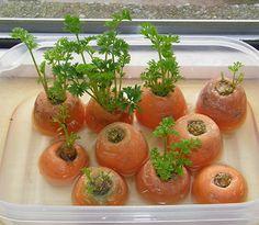 Möhren/Carrots: Karotten-Blätter können nachwachsen von Karotten-Oberteilen. Setze die Karotten-Oberteile in eine Schale mit wenig Wasser. Platziere die Schale in einem gut beleuchteten Raum oder auf der Fensterbank. Karotten-Blätter sind etwas bitter, aber wenn sie zusammen mit Knoblauch gehackt und mit Essig gesüsst sind, können sie für Salate verwendet werden.