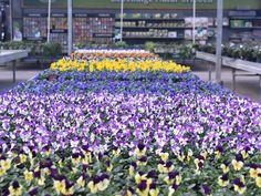 Ein Frühling ohne Veilchen ist kein richtiger Frühling. Das Veilchen gibt es in so vielen verschiedenen Farben, da ist bestimmt auch deine Lieblingsfarbe dabei.   #erlebnisgärtnerei #hödnerhof #ebbs #mils #hall #tirol #größtegärtnereitiol #ausflugsziel #erleben #pflanzenwelt #dekowelt #frühling #veilchen #viola #springflower#gärtnerei #eigenprodukion #pflanzenwelt #dekowelt #wirliebenpflanzen Plants, Right Guy, Violets, Road Trip Destinations, House Plants, Seasons, Things To Do, Flowers, Flora