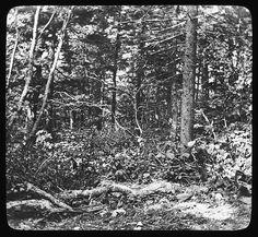 https://flic.kr/p/6rwsYQ | Greylock (virgin forest) (Manning Lantern Slide: 442) | Title: Greylock (virgin forest) n.d. Date: undated Description: Greylock (virgin forest) n.d. (Manning Lantern Slide: 442) Image ID: 218.LS.442 Related Information: Warren H. Manning Papers at the Iowa State University Library  Copyright 2009, Iowa State University Library, University Archives For Reproductions: www.lib.iastate.edu/spcl/services/photfees.html