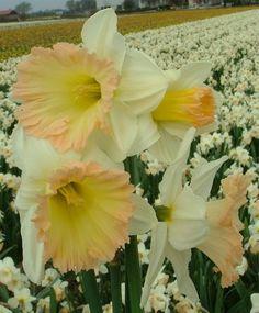 Narcissus British Gamble - Trumpet Daffodils - Narcissi - Flower Bulb Index