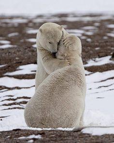 Bear hug. :) #polarbears #bears #love