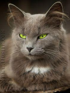 """Doris Lessing - Poi, ogni pelo consapevole di sé, [..] Doris Lessing, Nobel per la letteratura e profonda conoscitrice di gatti..... basta questa descrizione per rendersene conto. Chi ospita un gatto in caso non può che essere d'accordo.... soprattutto sulla """"mmagine della dignità offesa"""".... Buona serata :)  #DorisLessing, #Nobel, #gatti, #Animali, #citazioni, #citazioniitaliane, #liosite, #dignità,"""